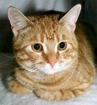 Европейская короткошерстная кошка кельтская фото цена