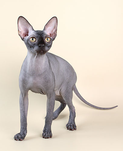 Канадский сфинкс - это порода кошек, которая в результате генных мутаций...