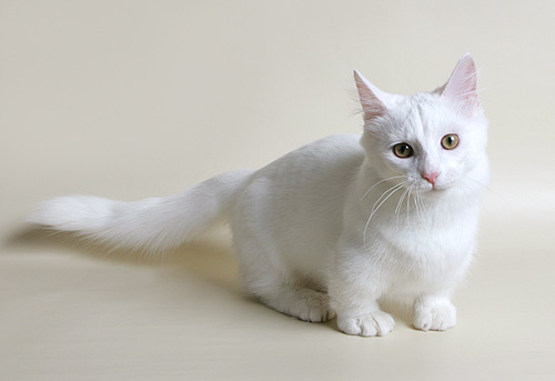 34 Wonderful Munchkin Cats and Kittens Collection.