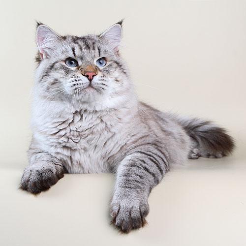 Невская маскарадная кошка (Neva Maskerade, Nev)