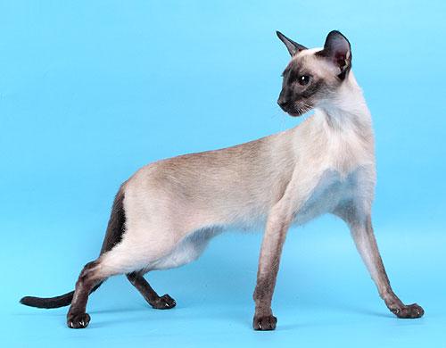 У Вас не сиамская кошка, а тайская.  Современные сиамы другие.  Вот такие.