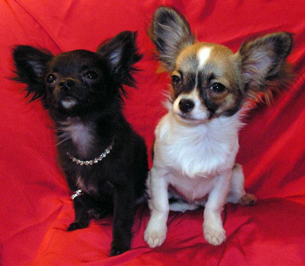 собака чихуахуа (чихи 042.jpg) Чихуахуа dogincity животные.