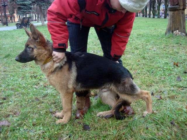 немецкая овчарка фото в 5 месяцев