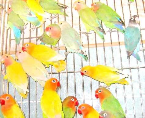 Неразлучники - небольшие попугайчики величиной со снегиря.  С названием птиц связывают красивое сказание о
