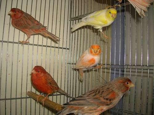 Содержание певчих птиц в домашних условиях видео
