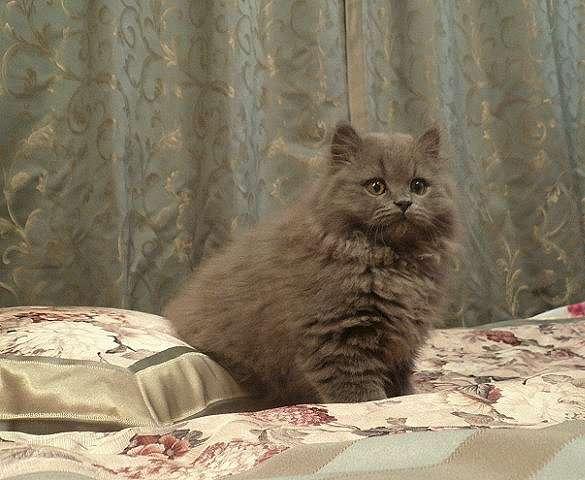 британец кот фото длинношерстный