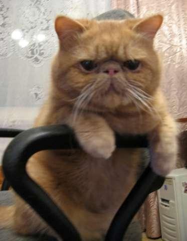 Вязка экзотического кота