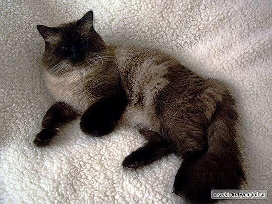 Кот невский маскарадный вязка