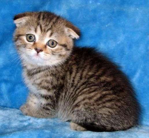 Вислоухий кот тигровый окрас