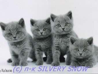 Британские кошки, коты и котята.