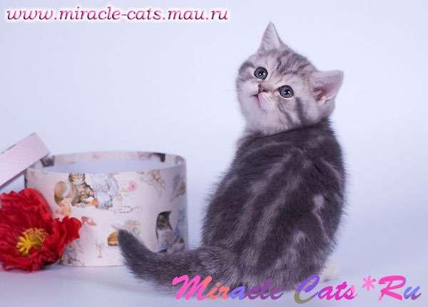 Британский котенок в подарок 16