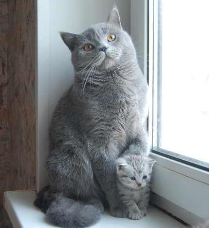 Британские шоколадные котята ...