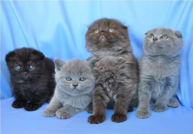 Цены на британских вислоухих котов