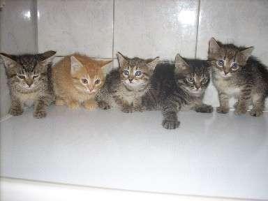 европейские котята фото
