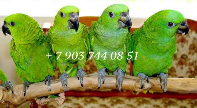 Венценосные голуби из питомников фрг