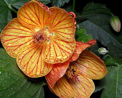 Неприхотливые растения абутилон