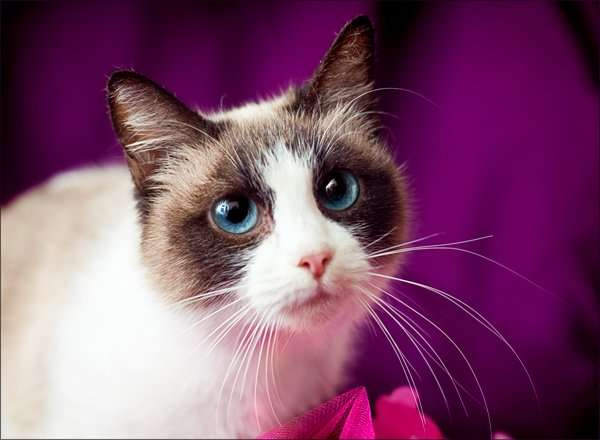 фото кошки породы сноу шу