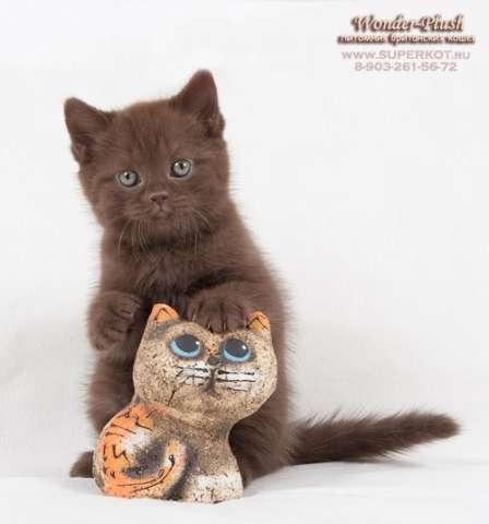 котята продаются британские котята ...