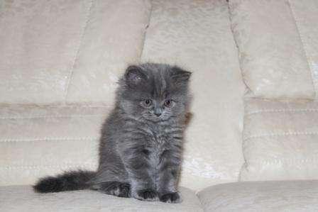 фото британские длинношерстные котята