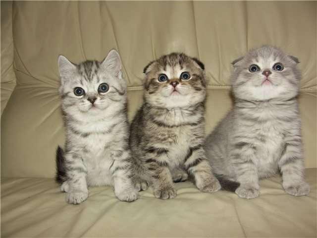 котята фолд британские фото скоттиш