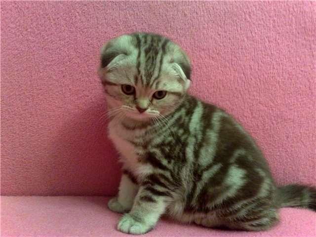 котята шотландские скоттиш-страйт фото