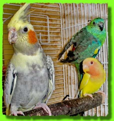 Канарейка или волнистый попугай