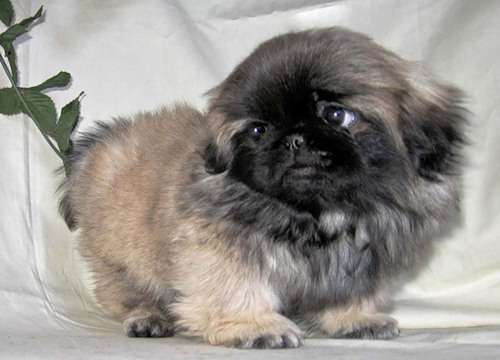 Где купить щенка пекинеса в москве