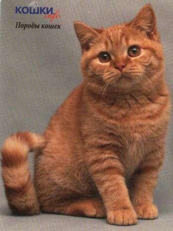 Котята британцы рыжие купить