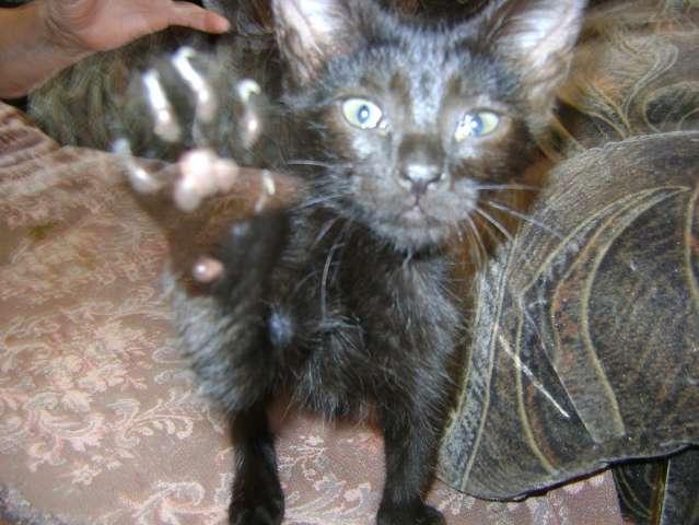 Чёрные бомбейские котятки 1 7 мес