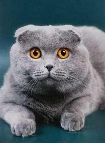 Британский кот вислоухий вязка