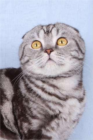 Шотландский вислоухий кот чёрный