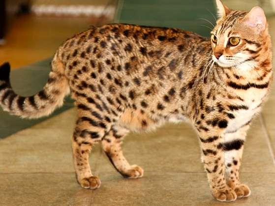 котята фото тигрового окраса