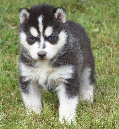 красивый сибирский хаски щенки для принятия.