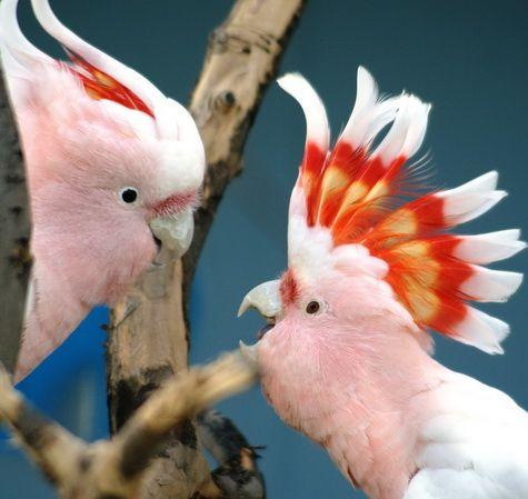 где купить среднего попугая: