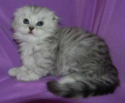 котенок породой шотландский вислоухий фото #11