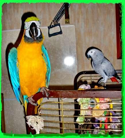 Купить попугая ара - 0ca6