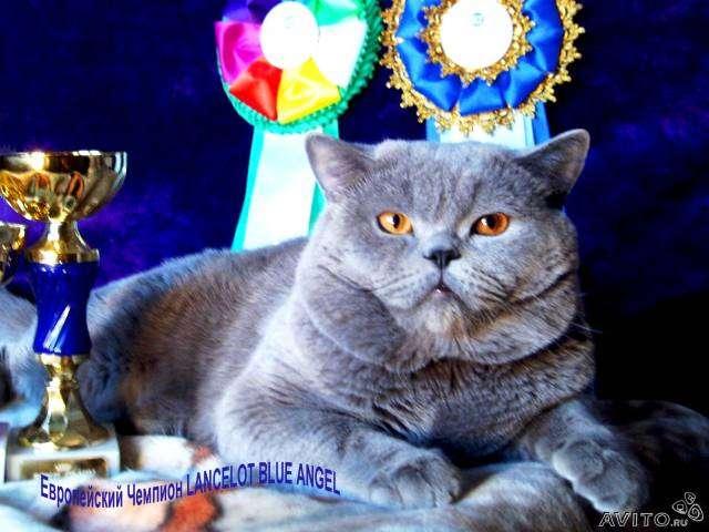 знакомства вязка британский кот
