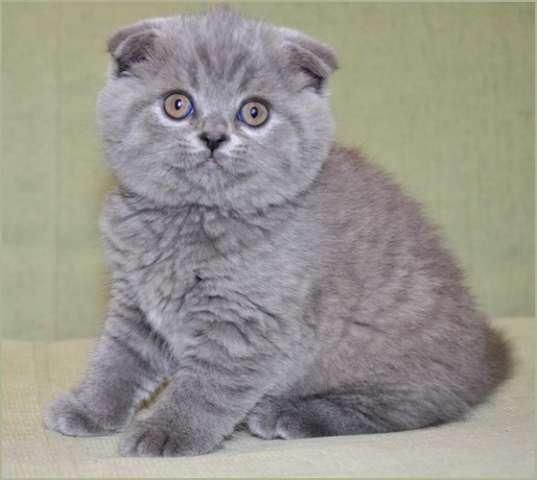 голубые шотландские вислоухие котята фото