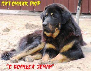 Info for собака тибетский мастиф фото