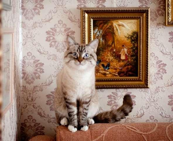 Вязка ласковый тайский кот в