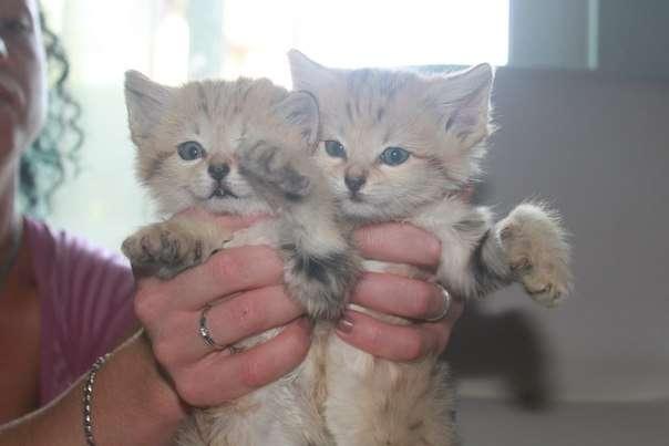 Продам котят барханной кошки felis margharita