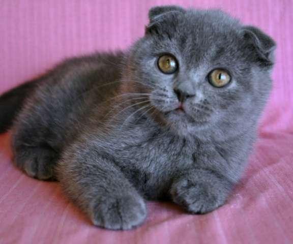шотландские вислоухие серые котята фото цена #10