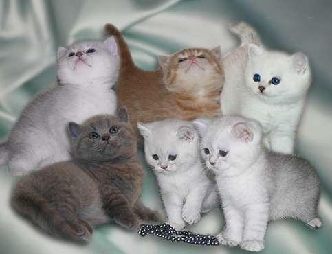 Картинки по запросу шотландские котята