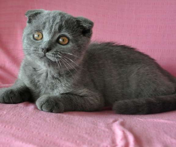 Вислоухий голубой котик 3 мес