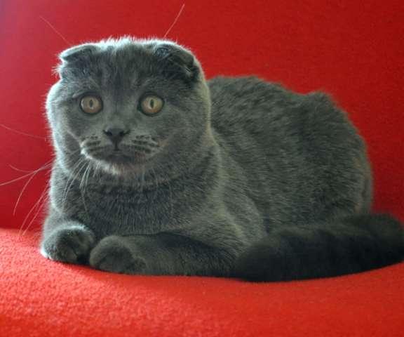 шотландские вислоухие серые котята фото цена #19