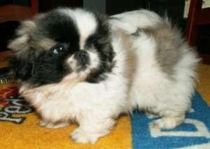 Пекинес Продаются щенки пекинеса.  Мальчики кремового окраса и цветные...