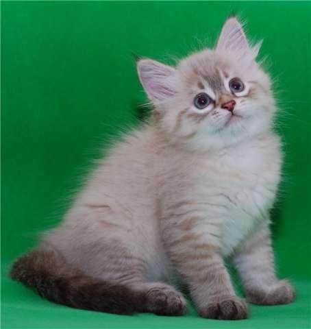 невская маскарадная котята новорожденные фото