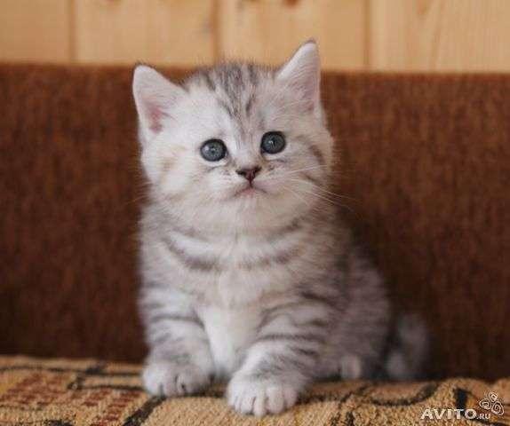 Шотландский прямоухий котенок Пятно ...: drug2.ru/view329608.html