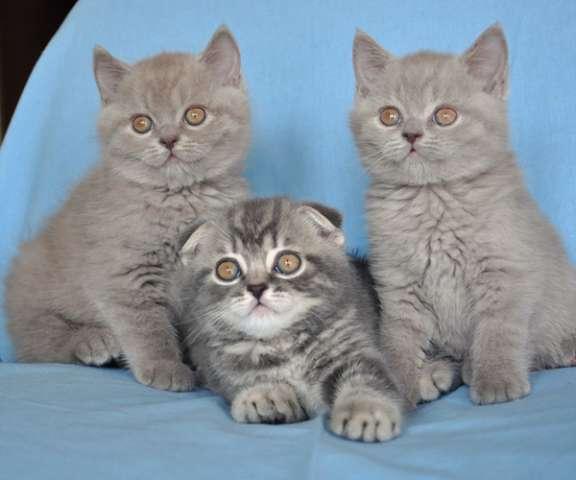 британские и шотландские котята с фото