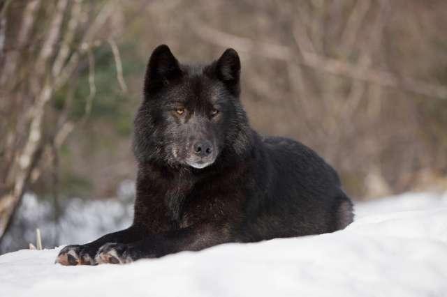 Черный канадский волк купить